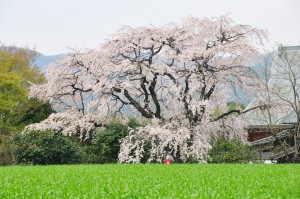 宝珠寺のしだれ桜 - 神埼市