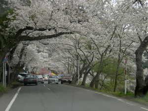 海津大崎の桜 - 高島市