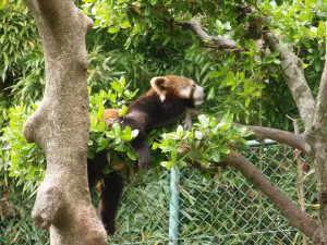 西山動物園のレッサーパンダ - 福井県鯖江市