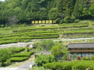 五加地区の茶畑 - 東白川村
