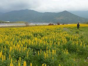 ルーピン畑 - 東串良町