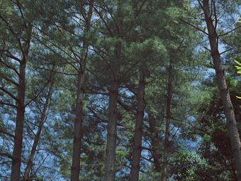垂水市の木 牛根松